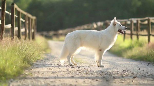 Белая швейцарская овчарка на ферме