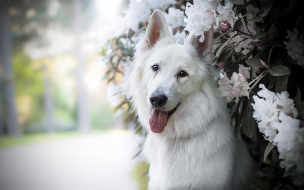 Белая швейцарская овчарка в цветах