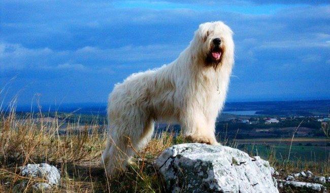 Южнорусская овчарка на фоне красивого пейзажа