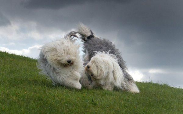 Южнорусские овчарки играют на природе