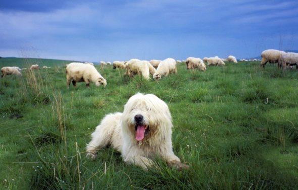 Южнорусская овчарка и стадо овец