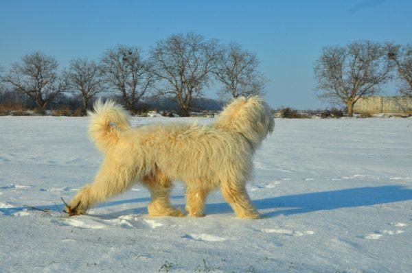 Южнорусская овчарка зимой