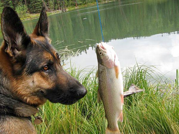 Немецкая овчарка и рыба