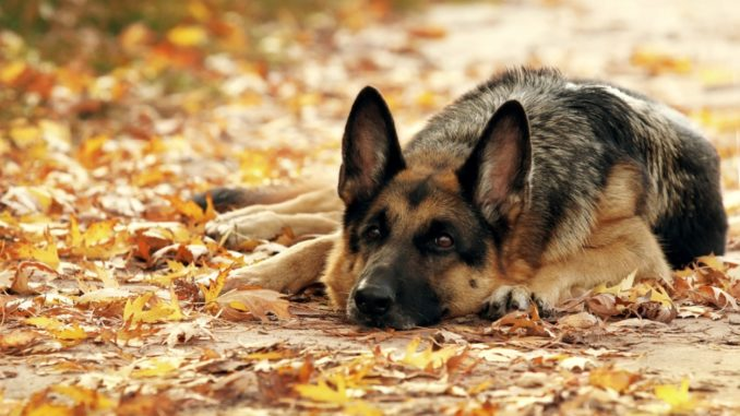 Красивое фото немецкой овчарке на фоне осенних листьев