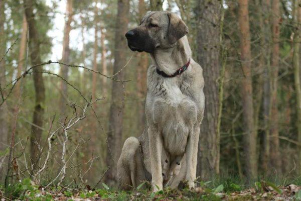 Анатолийская овчарка в лесу