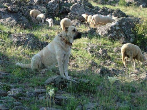 Турецкий кангал с стадо овец