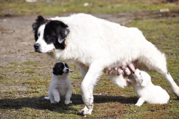 Болгарская овчарка кормит своих щенков