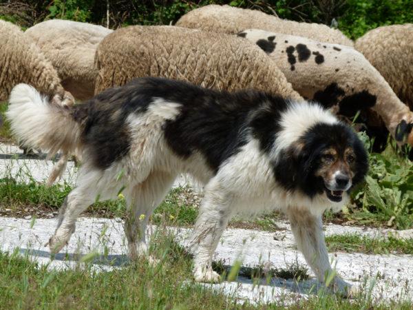 Болгарская овчарка охраняет отару овец