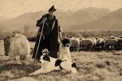 Болгарская овчарка пастух и стадо баранов