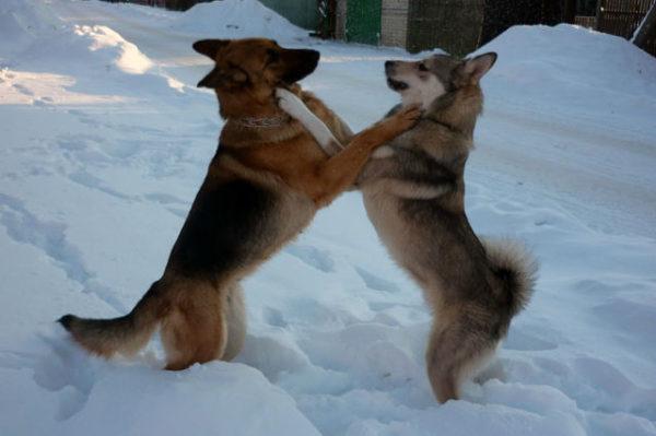 Немецкая овчарка и лайка играют