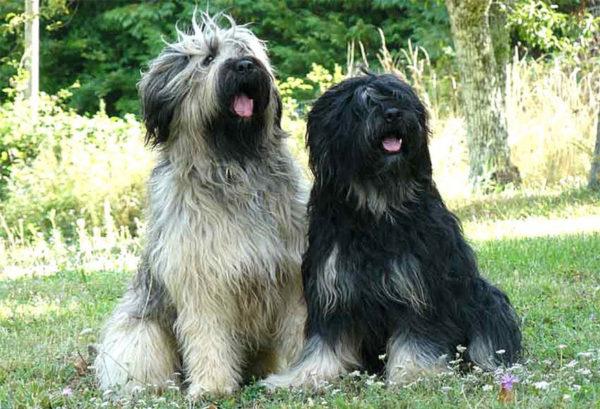 Испанские овчарки черного и соболиного окраса