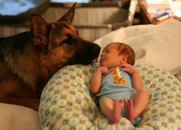Новорожденный малыш и немецкая овчарка