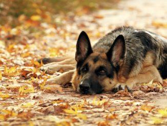 Немецкая овчарка лежит на осенних листьях