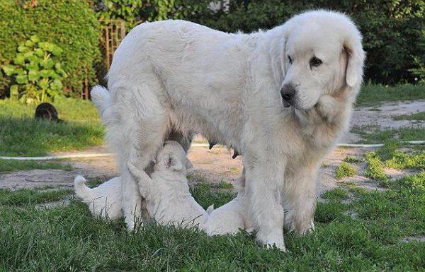 Подгалянская овчарка и ее малыши