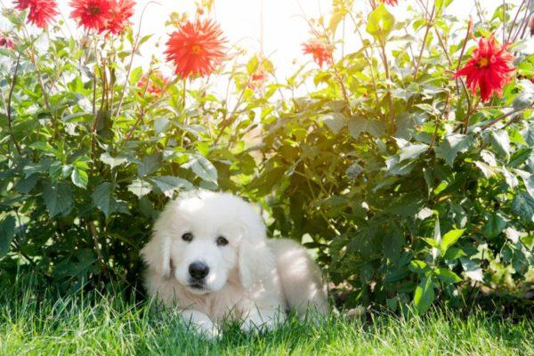 Щенок подгалянской овчарки лежит на лужайке с цветами