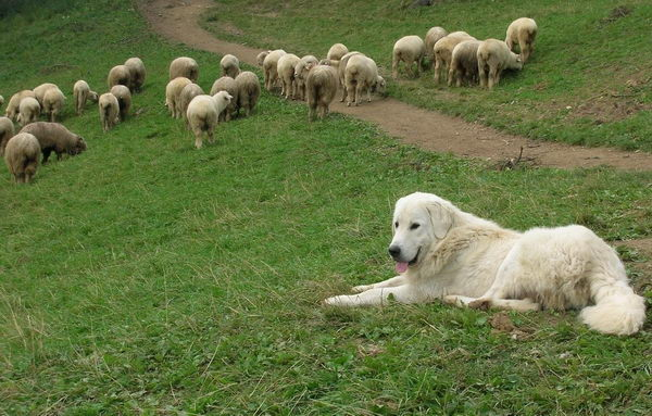 Польская подгалянская овчарка охраняет овец