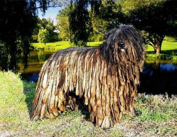 Внешний вид бергамской овчарки