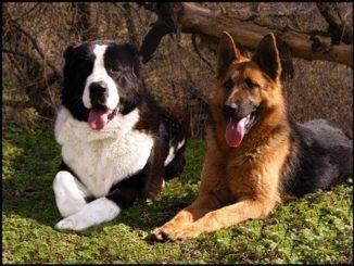 Алабай и немецкая овчарка