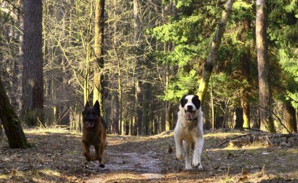 Немецкая овчарка и алабай бегут рядом