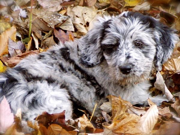 Очень красивый щенок бергамаско