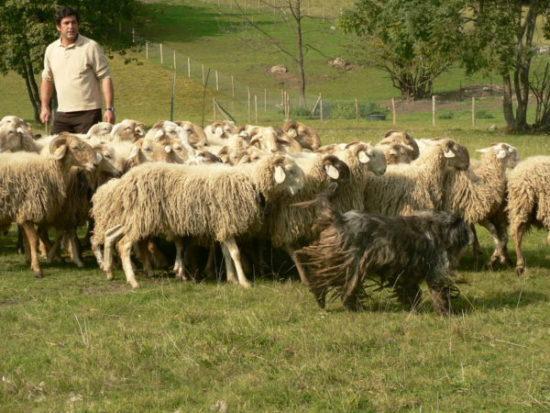 Бергамская овчарка загоняет стадо овец