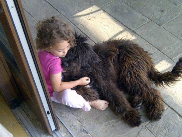 Бергамская овчарка спит у ребенка на коленях