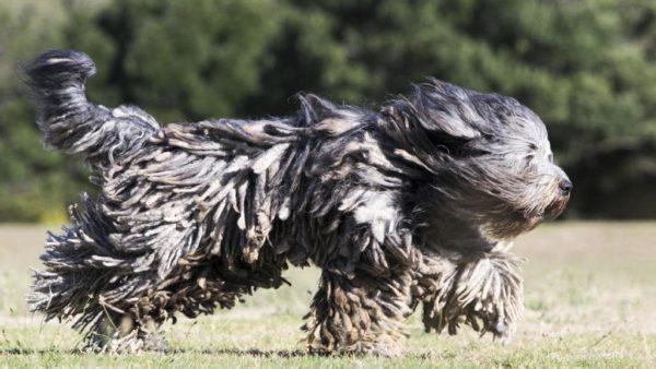 Бергамская овчарка бежит