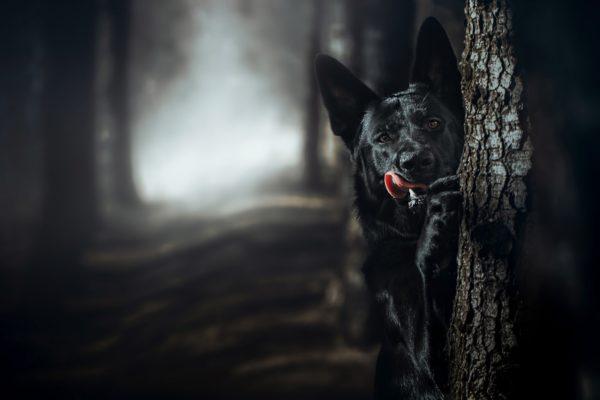 Черная немецкая овчарка за деревом