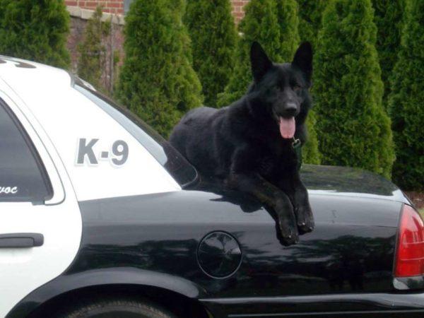Черная немецкая овчарка лежит на полицейской машине