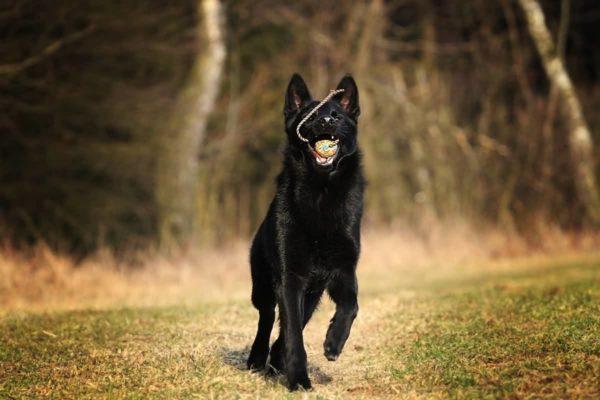 Черная немецкая овчарка с мячом