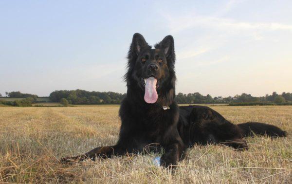 Длинношерстная черная немецкая овчарка