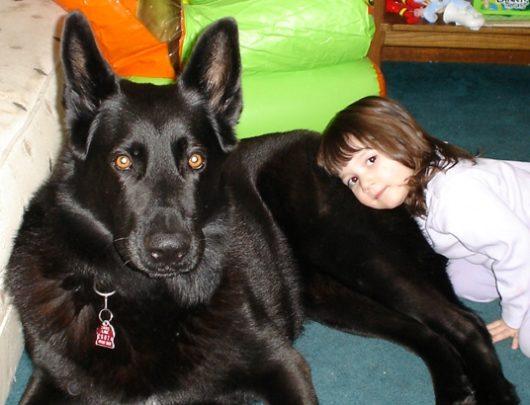 Черная немецкая овчарка и ребенок