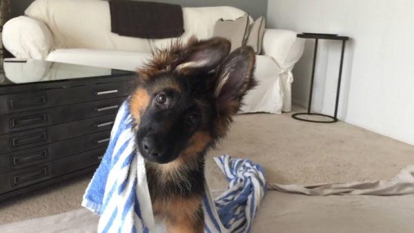Щенок немецкой овчарки в полотенце