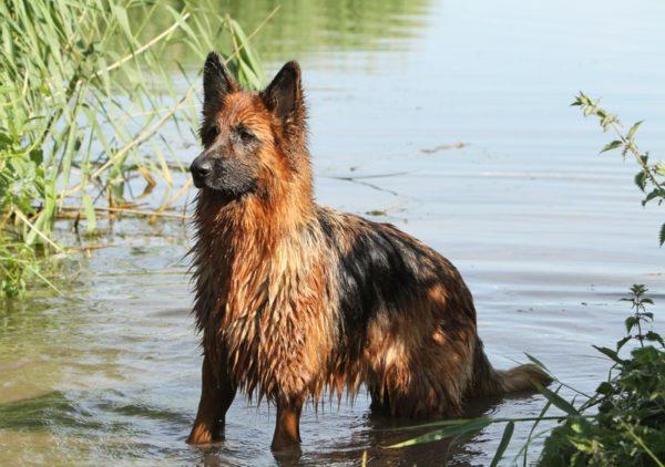 Немецкая овчарка в водоеме