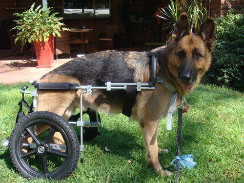 Немецкая овчарка с парализованными задними конечностями
