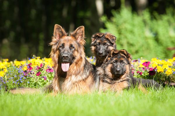 Немецкая длинношерстная овчарка и два щенка лежат у клумбы