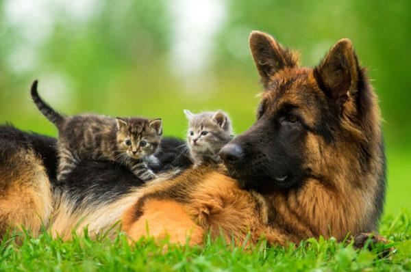 Немецкая овчарка и котята