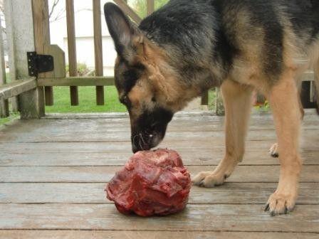 Немецкая овчарка и большой кусок мяса