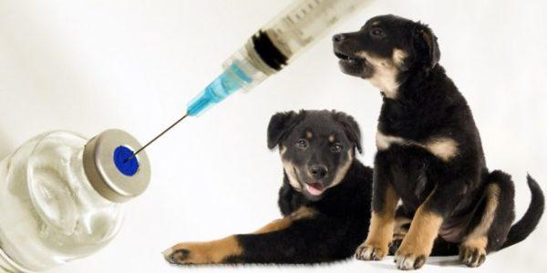 вакцинация щенков вео