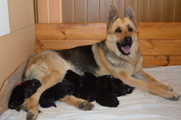Восточно-европейская овчарка и ее щенки