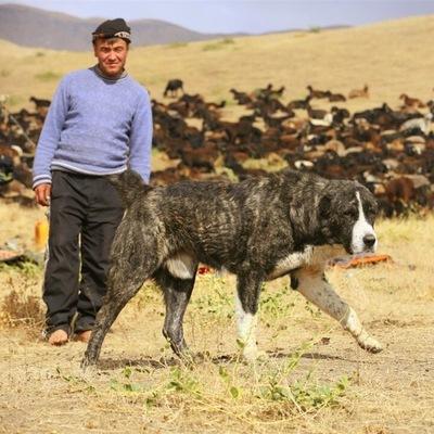 Афганская овчарка саге коче в степи