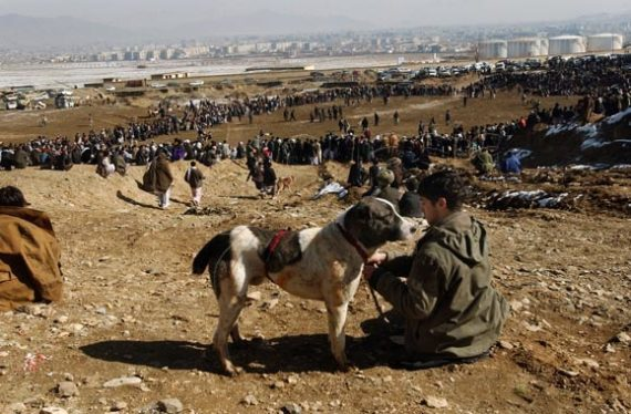 Афганская овчарка саге коча
