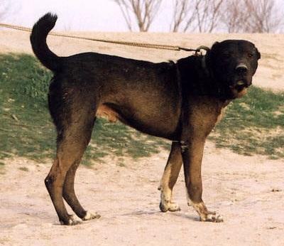 Черная афганская овчарка саге коче