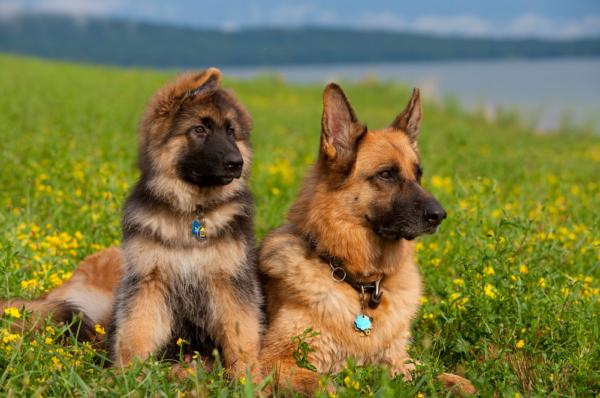 Немецкая овчарка и щенок в поле