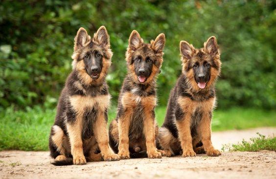 Три щенка длинношерстной немецкой овчарки
