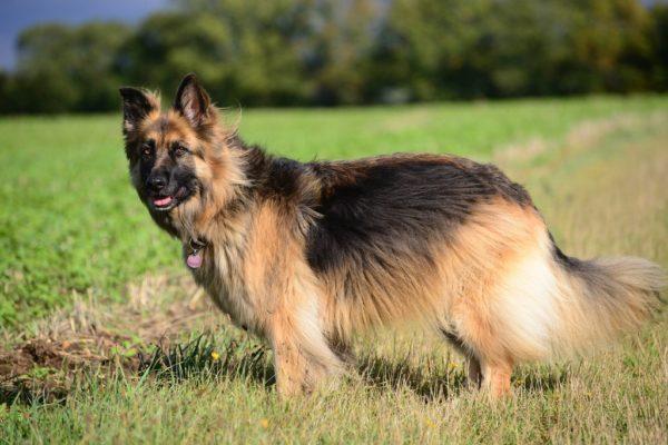 Длинношерстная немецкая овчарка в поле