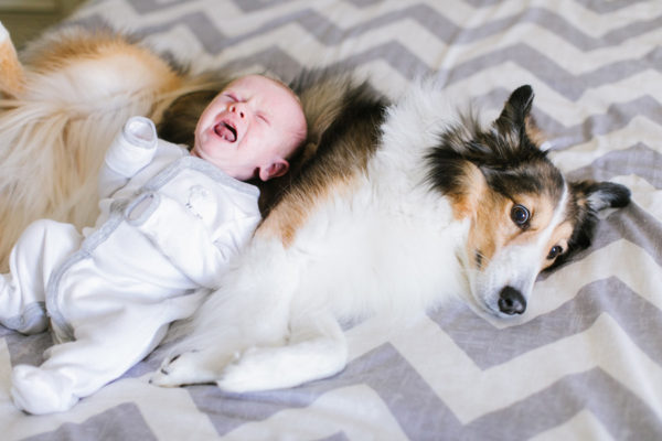 Шелти и кричащий малыш