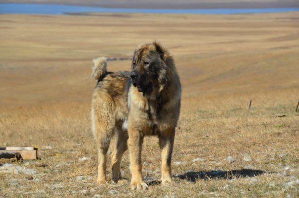 Кавказская овчарка в степи