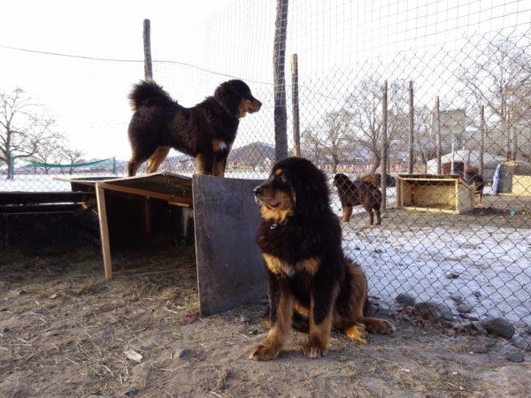 Монгольские овчарки сторожат вверенную им территорию