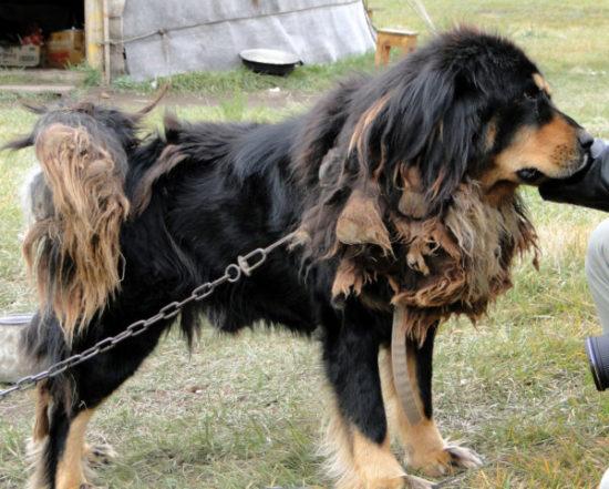 Монгольская овчарка с дредами